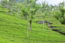 Tea Gardens on the way to Dolphin Nose, Coonoor