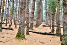 Pine Forest @ Ooty
